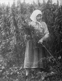 220px-Cannabis_harvesting_(USSR,_1956)
